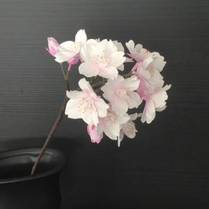 桜………前進