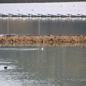 オオハクチョウが居る池へ