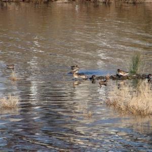 夢前川の野鳥