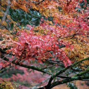 小雨と紅葉