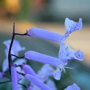 ご近所さんちの花
