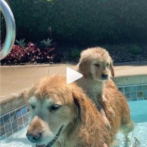 プールには落とされるし枕代わりにはさせられるし…… 成犬にもてあそばれる子犬