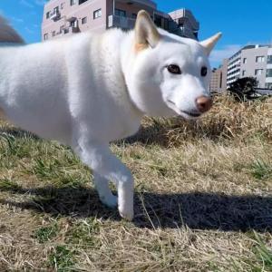 柴犬と夢のお散歩同行! 白柴チョビさんに会ってきたぞぉぉぉっ!