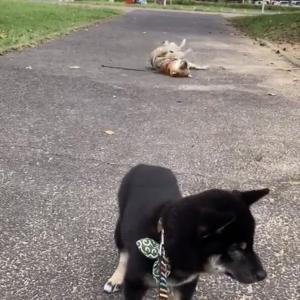 柴犬「地面さいこおおお」 塩対応な柴犬「はっ? 何やってんの?」