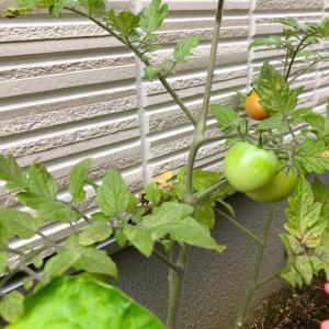 トマト泥棒と水たまり