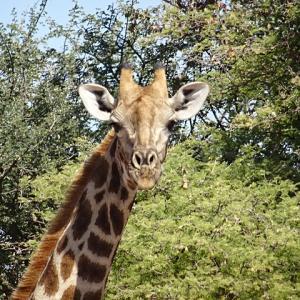 キリンのお出迎えに大興奮!オコンジマ自然保護区