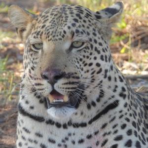 イノシシを食らうレオパードに目が釘付け@オコンジマ自然保護区