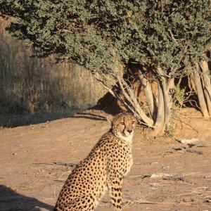 スラっと凛々しいチーターの姿を見た!@オコンジマ自然保護区