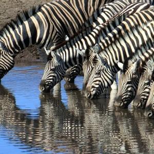 エトーシャ公園の水飲み場にやって来る草食動物達