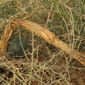 ナミブ砂漠に自生するブッシュマンのキュウリにミント