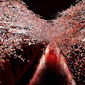 今日の写真は目黒川の桜ライトアップ
