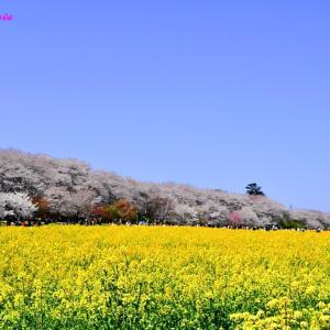 桜と菜の花!