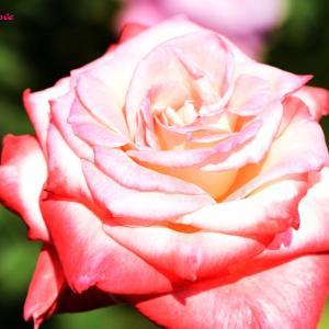 今日の写真は睡蓮とバラ
