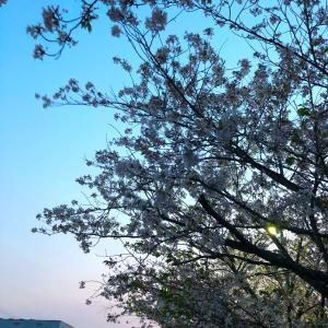 走れぇ~、桜に向かって