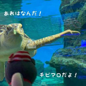 7月28日に生まれたばかりのカメの赤ちゃん元気いっぱいに泳いでますおとなのカメさんと...
