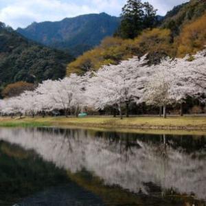 下北山村の桜