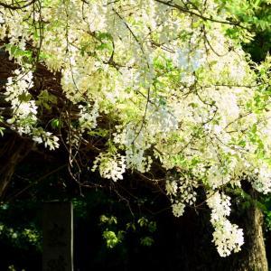 山田寺跡の白藤