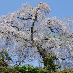 薬樹院の太閤桜。2021(坂本さんぽ)