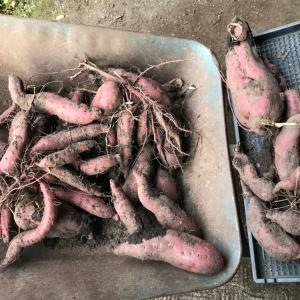 サツマイモ掘ってもらいました