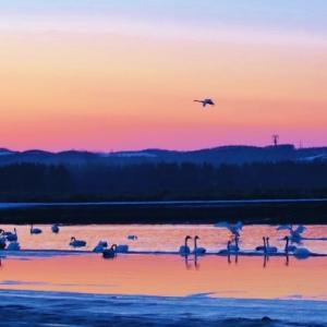 北へ向う渡り鳥の中継地のこの池に、夕陽の沈む頃になると 塒として白鳥が、次々と飛んできます。