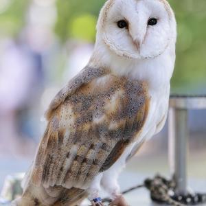 猛禽類フライトショー @安城産業文化公園デンパーク 3