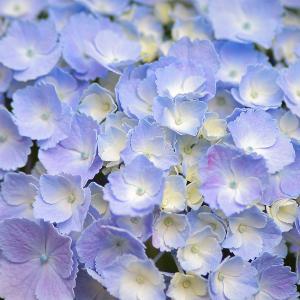 紫陽花(自宅にて)