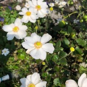 霜月 秋色の我が家、黄色いぼんぼり付きの白い秋明菊、黄色い金柑、黄緑のレモン、黒いオリーブの実