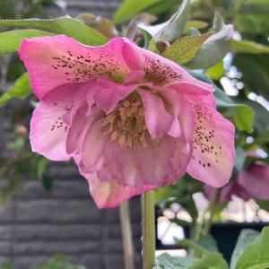 我が家のお花たち(クリスマスローズ、椿、ミニ水仙、ビオラ、かいどう桜)