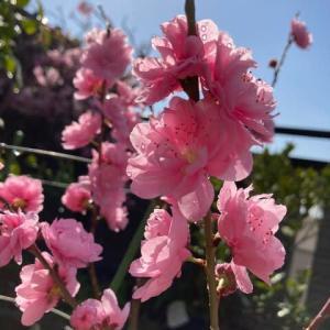 宝塚小町とかいどう桜 我が家の桜色のお花たち