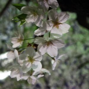 PENTAX Q7 夜桜接写