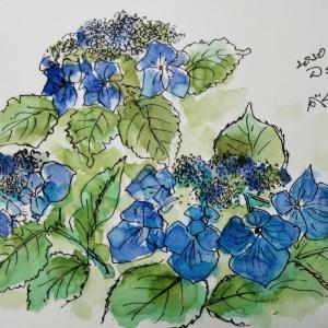 紫陽花を描く