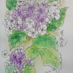院内の紫陽花を描く