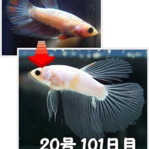 【ベタ】十兵衛Jr. 101日目 20号