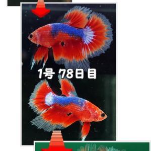 【ベタ】十兵衛Jr. 103日目 1号