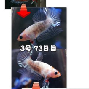 【ベタ】十兵衛Jr. 103日目 3号