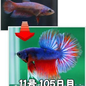 【ベタ】十兵衛Jr. 105日目 11号