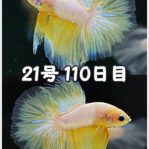 【ベタ】十兵衛Jr. 109日目 21号