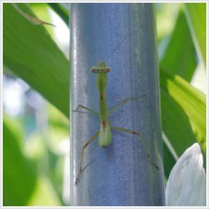 【虫】カマキリの子供