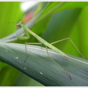 【虫】カマキリ、細身の子供