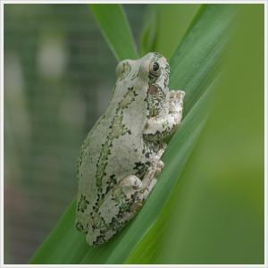 【蛙】イイ色のアマガエル