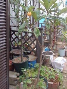 最近の庭☆ビワとかわいい珍客☆aranciatoさん3こ1