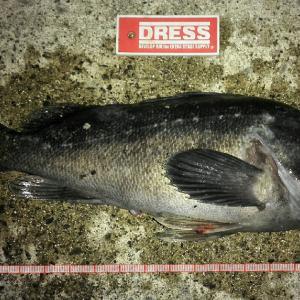 『54cm根魚ハゼパターンに有効なリグは?』