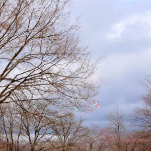 桜は3部咲き!