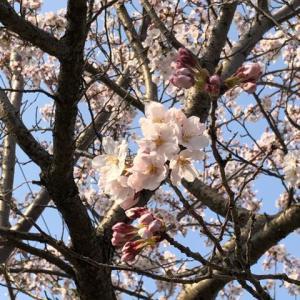 桜はまだ…。。
