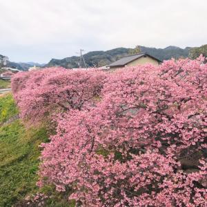 河津桜 と 嬉しい再会 その2
