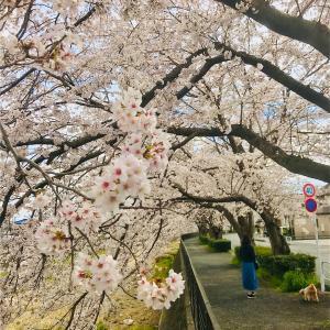 外出自粛 テレワーク 満開間近の桜