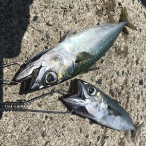 7.27釣果 安定のワームマゴチ