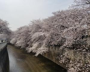 練馬お花見スポット 桜がきれいな石神井川!!