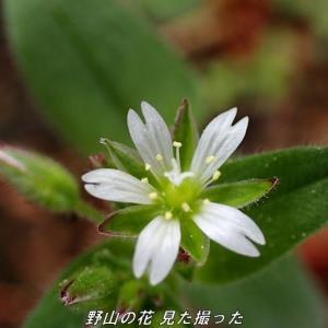ミミナグサ(耳菜草) 2021