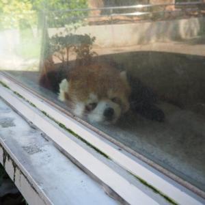 とべ動物園レッサーパンダの砥々丸君